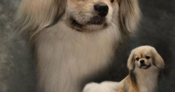 Tibetan Spaniels Puppies from Lagniappe Tibbies Kennel