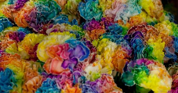 Rainbow carnations...playful | New And Cool | Pinterest ...