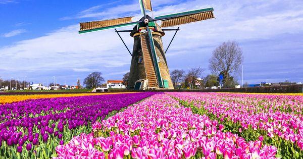 Tulips Netherlands Field Windmill Puzzle Jigsaw