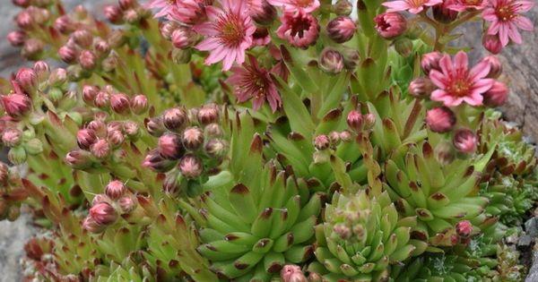 Sempervivum arachnoideum joubarbe araign e araign es plantes et toiture - Plante toiture vegetalisee ...