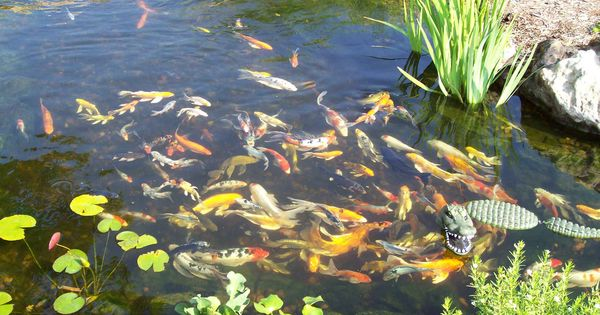 Fish pond love a good water feature pools and ponds for Good pond fish