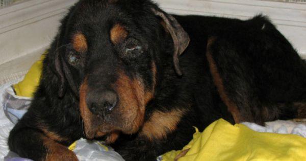 Adopt Jax Severely Abused On Petfinder Purebred Rottweiler Rottweiler Dog Rottweiler