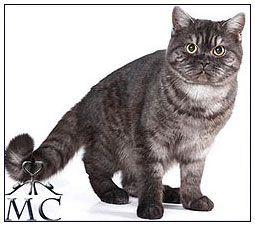 British Shorthair Cat Black Smoke British Shorthair Cats British Shorthair Cattery