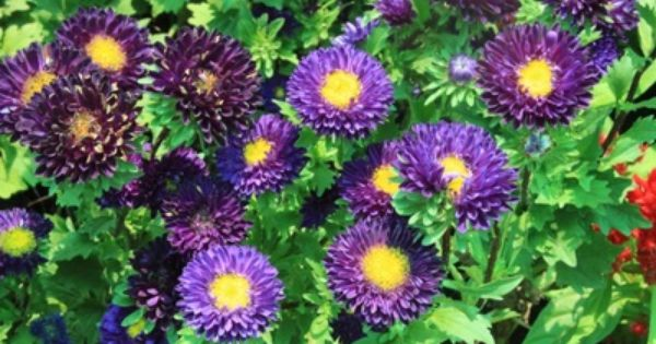 Aster Flowers Images Free Flower Images Free Aster Flower Flower Images