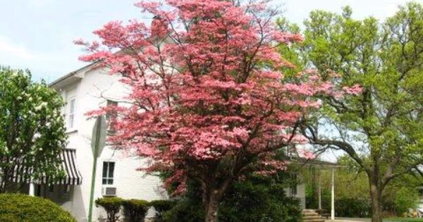 Chic Color Palettes From Nature Pink Dogwood Dogwood Trees Dogwood