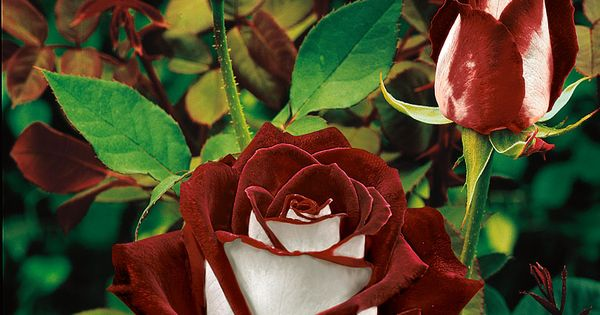 OSIRIA ROSE Red Hybrid Tea rose - velvet red with white satin