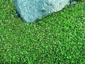 Brass Buttons Miniature Ground Cover Plants Ground Cover Ground Cover Flowers