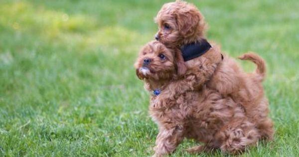 Cavapoo Puppies 25 Tips For Cavapoo Puppy Buyers Cavapoo Puppies Cute Baby Animals Cavapoo