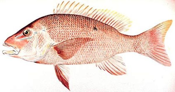 Snapper fish species campechanus other names for Snapper fish florida