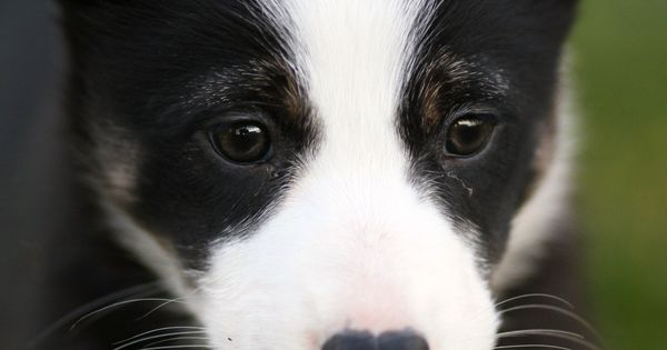 Border Collie Puppy-- a dog at least, to keep all my animals