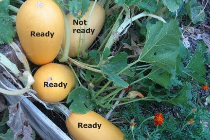 When To Harvest Spaghetti Squash Growing Spaghetti Squash Brown Thumb Spaghetti Squash