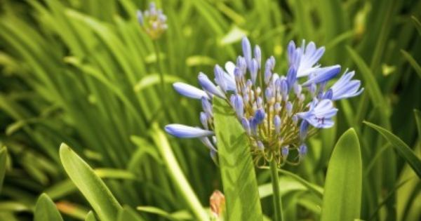 Why Is My Agapanthus Not Blooming How To Make An Agapanthus Bloom Agapanthus Plant Plants Agapanthus