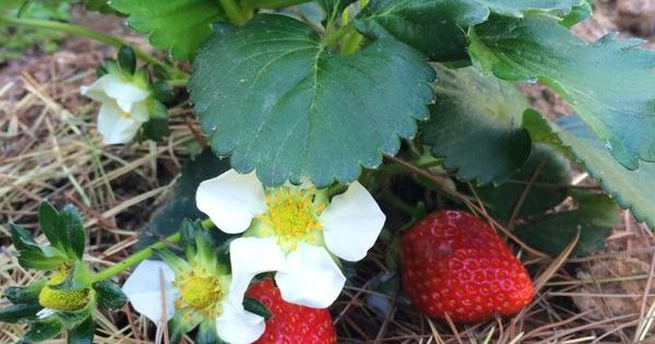 Tips for Growing Strawberry Plants | Plants, Conditioning ...