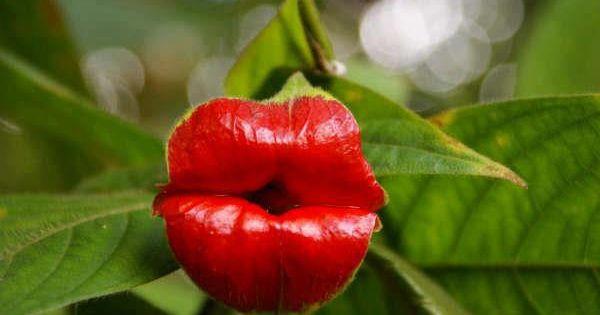 This plant seems to have large red lips, just like Rolling Stones