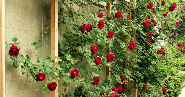 Red Rose Trellis.