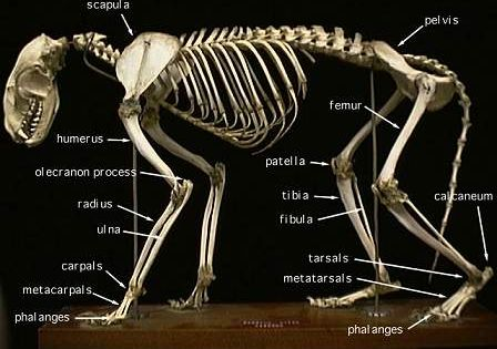 partially labelled raccoon skeleton - click for large photo ...