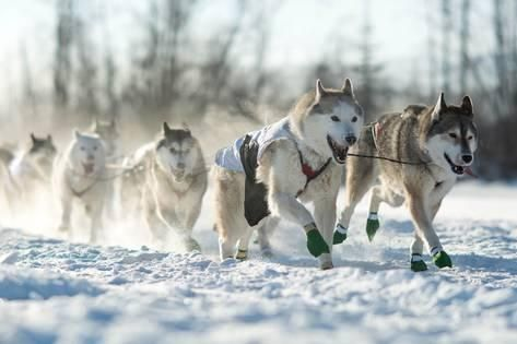 Photographic Print Dog Sled Team By Andrew Reid 24x16in Lake