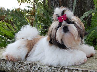 Tian Mi Shih Tzu My Breeder In Florida Shih Tzu Shih Tzu Dog