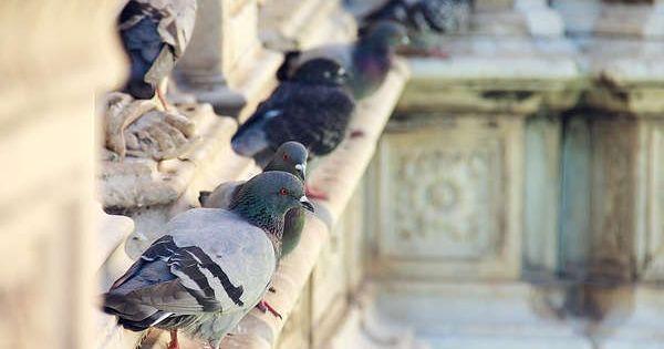 r pulsif pigeons animal insecte pinterest voir plus d 39 id es sur les th mes truc astuces. Black Bedroom Furniture Sets. Home Design Ideas