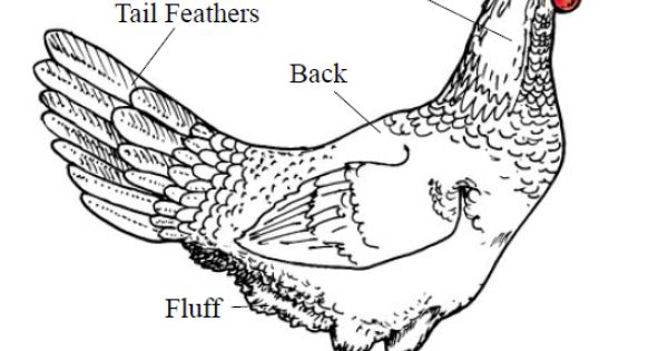 external anatomy of poultry kept on small or backyard