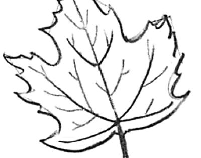 Learn How To Draw Maple Leaves With Easy Step By Step