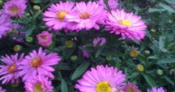 Onlineplantcenter 1 Gal Alert Dwarf New York Aster Plant A3129cl The Home Depot Plants Perennials Aster