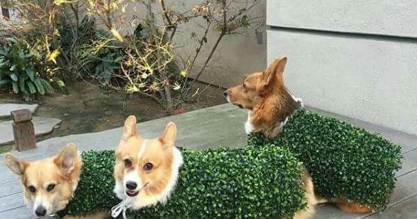 Pin By Yukari Vansoolen On Sinatra Sinatra Corgi Dog Corgi Cute Animals
