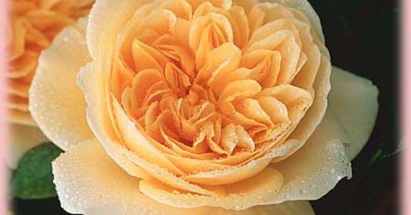 Teasing Georgia Rose Must Have English Roses Rose Unusual Flowers