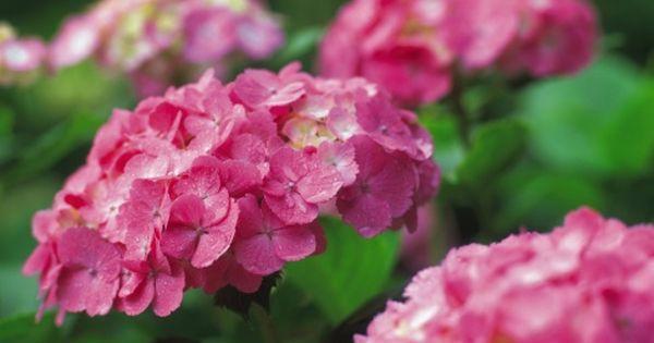 Hortensias hydrangeas plantaci n y cuidados clic en la - Cuidado de las hortensias ...