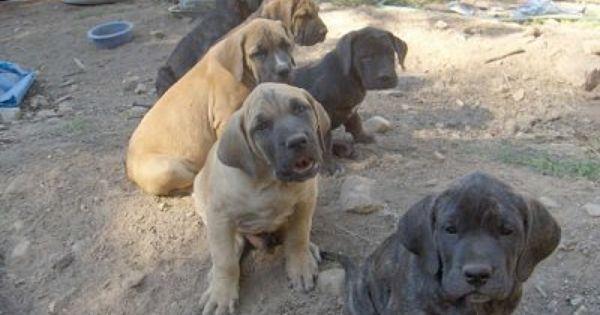 Daniff Daniffs Great Dane Mastiff Hybrid Great Dane Mastiff Mastiff Puppies English Mastiff Puppies