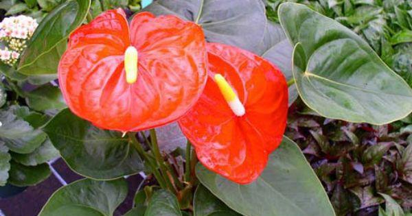 Anthurium Many Tropical Rainforest Plant Species Have