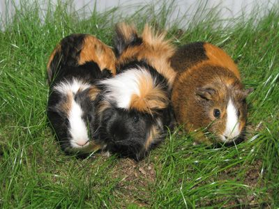 how to take care of a guinea pig facts