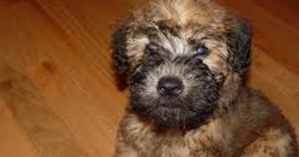 Wheaten Terrier Puppies For Sale Westchester Wheaten Terrier