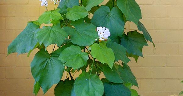 Sparmannia Indoor Lime Zimmerlinde Zimmerpflanzen Zimmerlinde Pflanzen