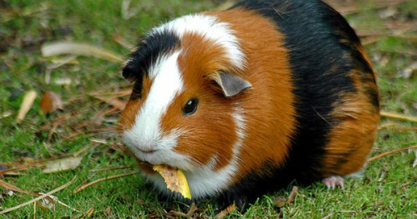 Pin On Guinea Piggies Most Adorable Furry Creatures