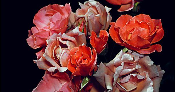 #roses flowers Graham Lott's Rose Garden