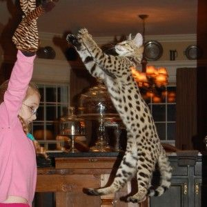 Savannah Kittens For Sale Select Exotics Savannah Cat Savannah Kitten Bengal Cat For Sale