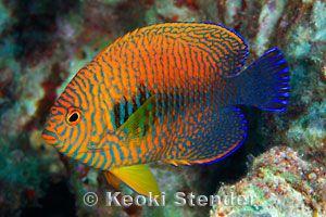 Pin By Sherron Bull On Animals Angel Fish Marine Fish Fish