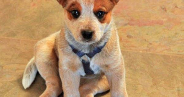 Australian Cattle Dog Pup Australian Cattle Dog Puppy