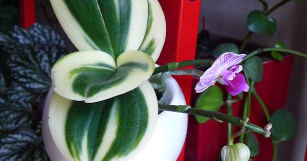 Rare Mini Moth Orchid Phalaenopsis With Variegated