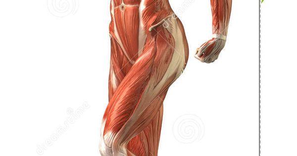 Female Back Muscle Anatomy Female muscle anatomy | Anatomy ...