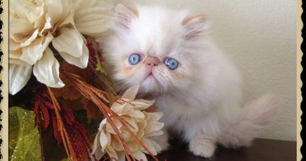 Gorgeous Flame Point Himalayan Persian Kitten Beautiful Kittens