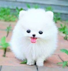 White Teacup Pomeranian Extreme Cuteness I Waaant U Baby Animals Pictures Cute Baby Dogs Funny Animals
