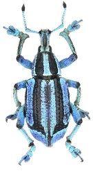 Eupholus Insekten Tiere Mutter Natur