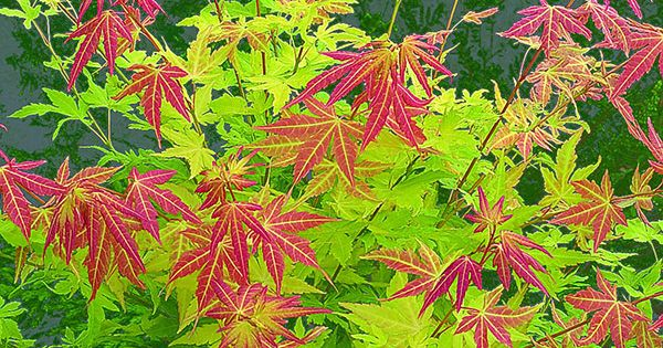 Buy Japanese Maple Acer Palmatum Palmatum Group Orange