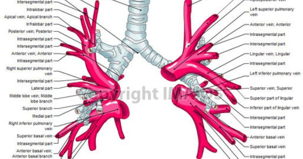 Relation Between Pulmonary Artery And Bronchus In Lung Google Search