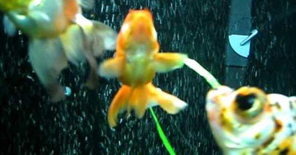 An Explanation Of The 180 Gallon Goldfish Tank Goldfish Tank Goldfish Fish Pet