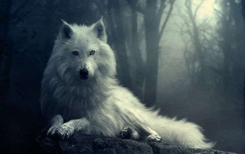white wolves pinterest | Amazing white wolf
