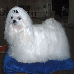 The Maltese Is A Small Breed Of Dog In The Toy Group It Descends