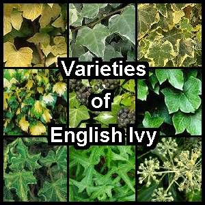 Earthdragon S Endangered Species Ivy Plants English Ivy Types Of Ivy